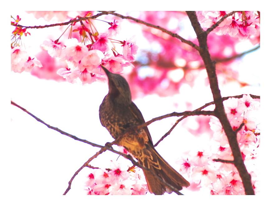 陽光桜に蜜もとめ