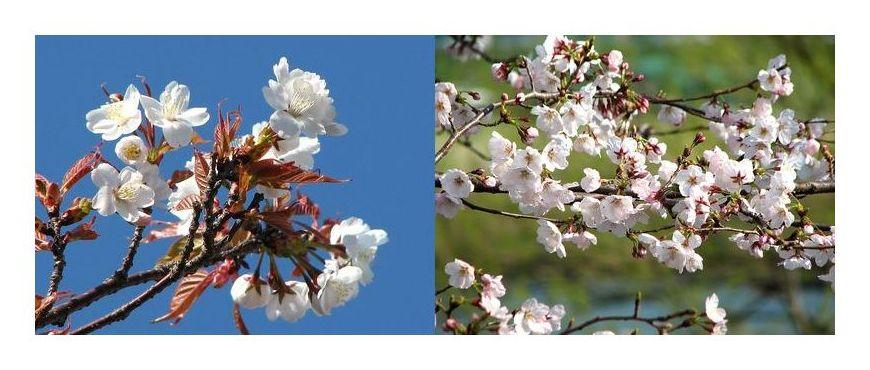 散歩道から 〜桜の共演〜