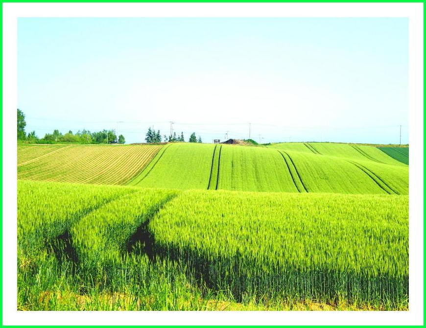 うねる麦畑