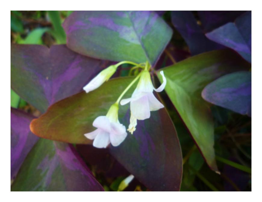 散歩で出会う花たち