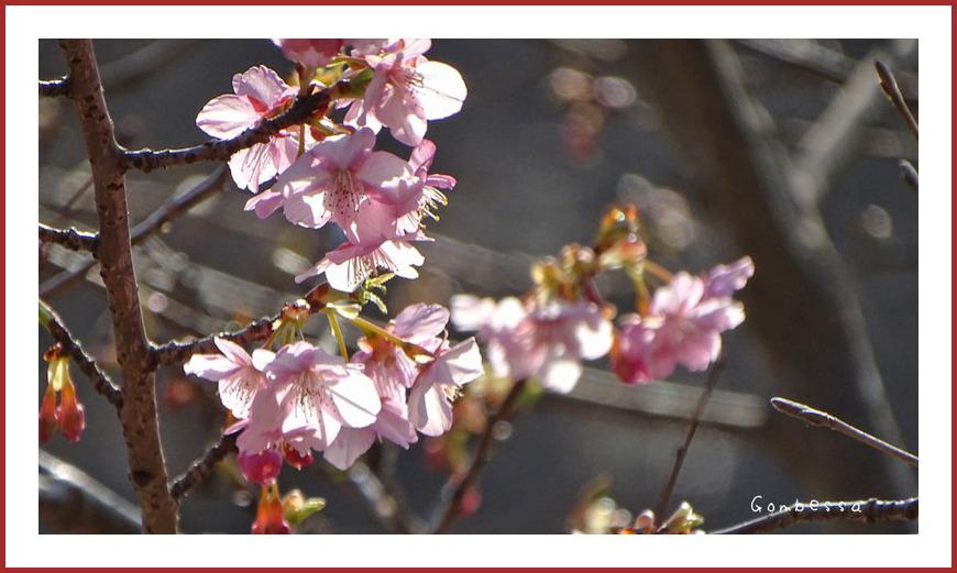 河津桜が咲いてた
