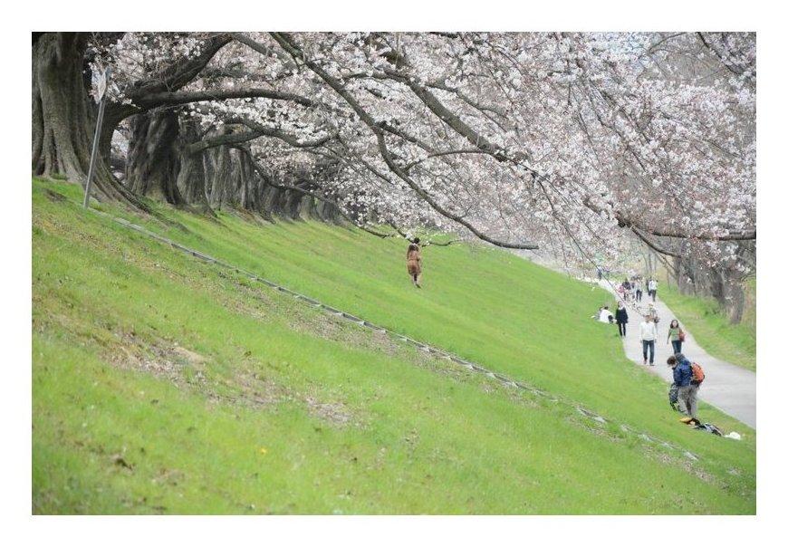 京都の桜名所NO.1