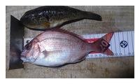 釣果!真鯛&フグ