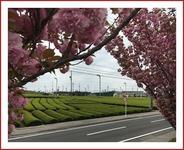 茶畑と八重桜