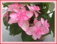 紫陽花「ひな祭り」