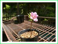 貴水園の盆栽苗