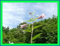 貴水郷盆栽苗