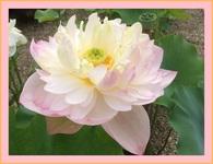 八重咲きの蓮