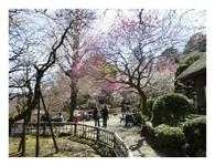 百草園の梅まつり