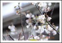 我が家のサクランボの花
