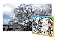 コブシ咲く古都の公園