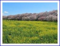 青空の下が桜も菜の花も綺麗