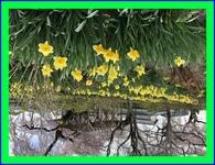 花寺の桜と水仙