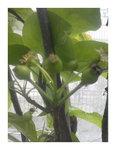 幸水梨の実