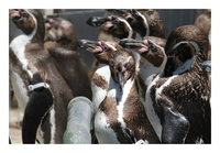 密集ペンギン