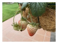 秋まで実をつける四季なりイチゴ