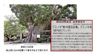 巨樹・巨木のクスノキ