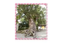縦継ぎ巨木巨樹