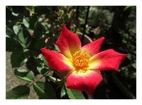 薔薇「カクテル」