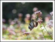 海を渡る蝶 アサギマダラ
