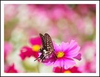 コスモスとアゲハ蝶