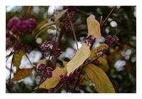 黄葉のムラサキシキブ