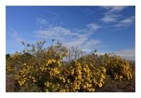 タイタン菊
