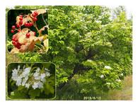 赤い実の木(27) カンボク