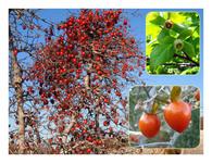 赤い実の木(28) ツクバネガキ