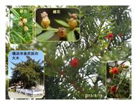 赤い実の木(31) イチイ