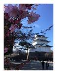 お城と河津桜