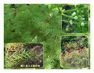 赤い実の草(8) キジカクシ