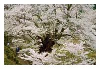仏隆寺千年桜