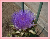 待ちに待ったアーティチョークの花です!!