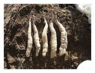 長芋の収穫1