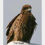 Tombee